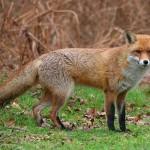 Fox, Kasol