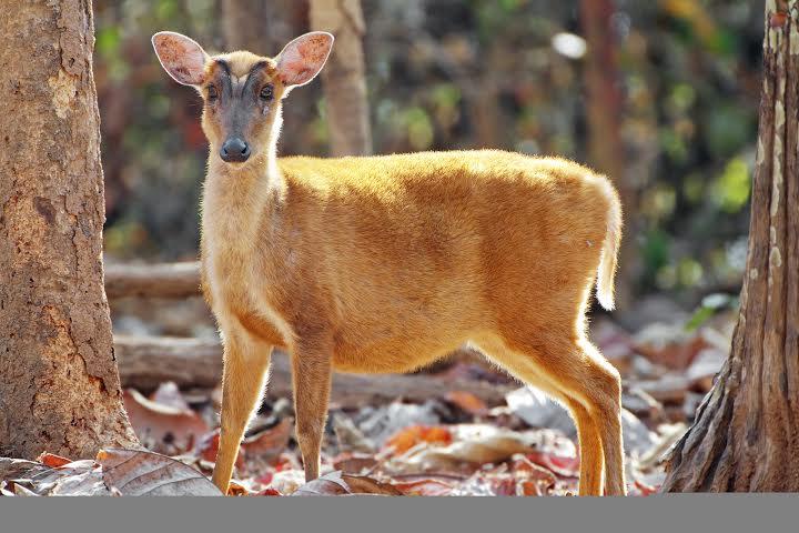 Deer, Kasol